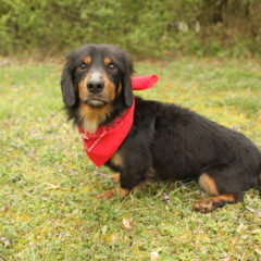 Cason is a laid-back male Dachshund mix. He is approximately 4-5 years old ant 15 lbs.
