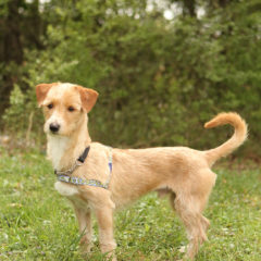 Roscoe is a smart, friendly male terrier mix. He is approximately 3 years old and 15 lbs