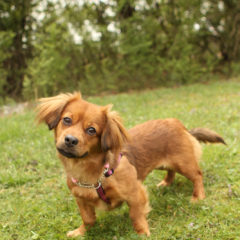 Spring is a playful, active female. We think Spaniel/ Dachshund mix. She is approximately 2 years old and 16 lbs.