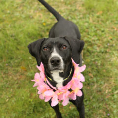 Velvet is a friendly, active female lab/hound mix. She is approximately 1-2 years old and 25 lbs.