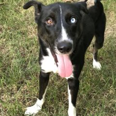 Pierre is a male mix about 1-2 years and 30 lbs. He's a handsome fella with a stately walk and stunning blue eye. He seems eager to learn and very attentive.