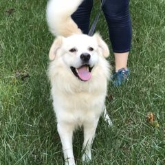 Oscar is a male Golden mix. He is about 2-3 years old and 35 lbs. He is a friendly, happy guy. (adoption pending)