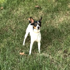George is a male rat terrier mix, around 2 years old and 12 lbs. He can be a little shy at first, but warms up quickly. Once he does, he loves giving kisses.