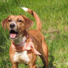 Adopted! Daisy is a hound mix - Tennessee brown dog as we so lovingly call them. She is a playful, gentle girl who is about a year old and 28 pounds. - Spring 2019