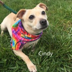 Cindy is a chihuahua mix. She can be a bit bashful at first, but we're getting to know her. She's about 4 years old and 18 pounds. - Spring 2019