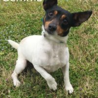 Adopted! Gemma is a Jack Russell mix. She a sweet girl that loves people. She is about 2-3 years and about 10 pounds. - Spring 2019